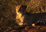 Cheetah at Sunset - 220507348