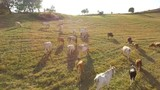 Cows grazing on open fields in the countryside - 220513328