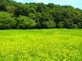 森と田圃風景 - 220514901