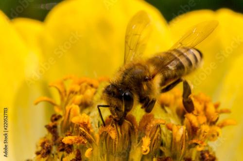 Pszczoła na żółtym kwiatku - 220527113