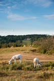 Sheep in colorful Summer landscape in English countryside of Ashdown Forest - 220558718