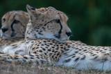 Gepard - 220568503