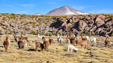 A group of Greater Rhea / Nandu (Rhea americana) graze on the Altiplano, in the Eduardo Avaroa National Reserve, Uyuni, Bolivia - 220592129