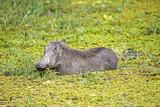 Wild Warthog standing in green swamp - 220597934