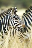 Wild African Zebra standing in tall grass - 220597950