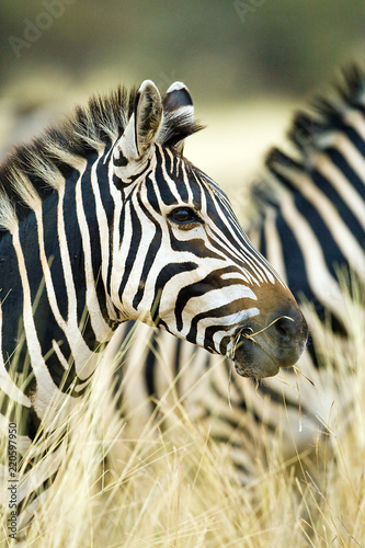 Obraz na płótnie Wild African Zebra standing in tall grass