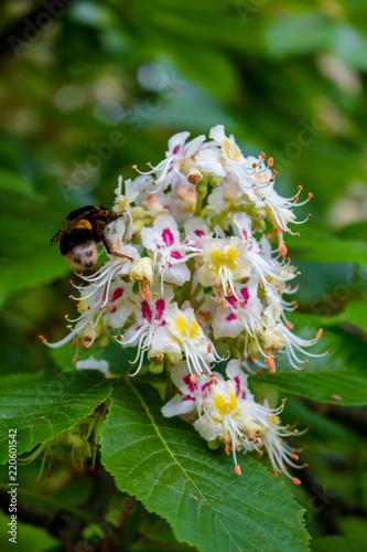 Bumblebee pollinates chestnut flowers. - 220601542