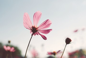Cosmos flowers nature background pink color vintage tone