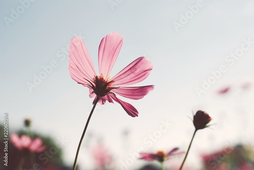 Cosmos flowers nature background pink color vintage tone  - 220601914