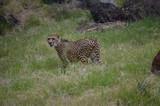 Leopard - 220610952