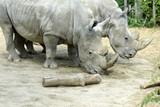 rhinocéros - 220612560