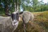 Close-up sheep face and grazing sheep - 220615383