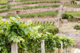 Vineyard with different sorts of wine in Saxony, Germany - 220616975