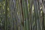 Bamboo stems background