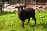 Sheep graze on green pasture near old wood house in the mountains. Young brown sheep graze on the farm. - 220636916