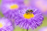 Bee picking pollen on summer flower. Beauty bright natural background.  - 220639319