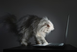 Curious White Persian cat trying to use a laptop - 220641327