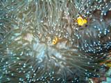 Sea anemone and clownfish - 220641585
