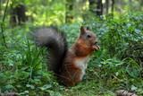 Beautiful fluffy squirrel sitting in grass and gnawing nuts - 220642384