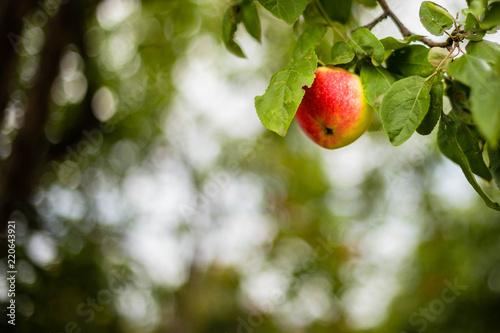 Foto Murales apples