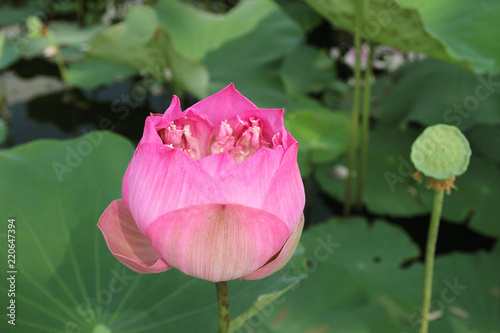 Beautiful lotus flower with green leaf in in pond buy photos ap beautiful lotus flower with green leaf in in pond mightylinksfo
