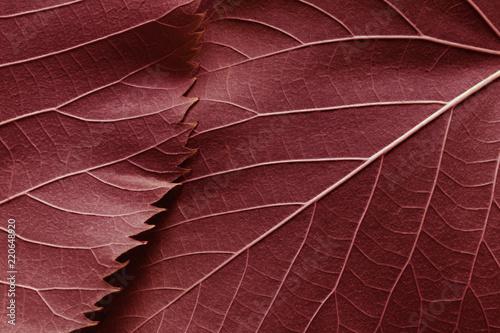 Fototapeta Macro image of red leaves, natural background
