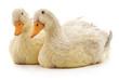 Two white ducks.