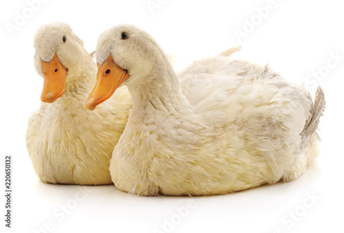 Fototapeta Two white ducks.