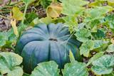 big green ripe nutmeg pumpkin in the field - 220651739