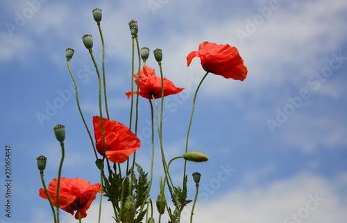 Poppy red poppy flower red corn poppy flowers buy photos ap poppy red poppy flower red corn poppy flowers mightylinksfo