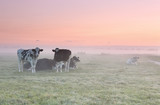 relaxed cows on misty pasture at sunrise - 220657132
