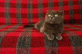 Purebred cute kitty on the couch. The gray cat on the checkered sofa is red-gray, looking up. - 220671936