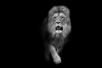 African lion wildlife animal interior art collection