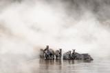 Zebra Drinking in the Mara