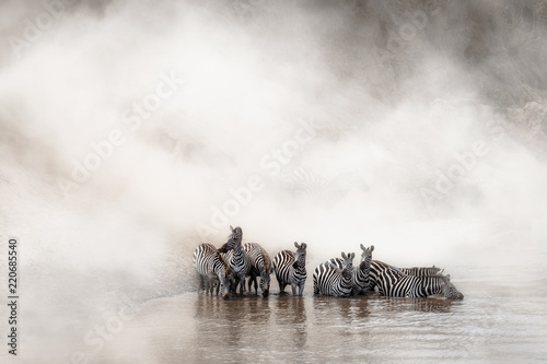 Fototapeta Zebra Drinking in the Mara