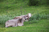 two Bavarian cows on the pasture - 220686540