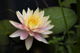 pink and yellow water lily blossom in a dark lake, copy space