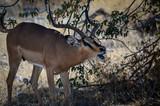 Schreiendes Impala - 220695155