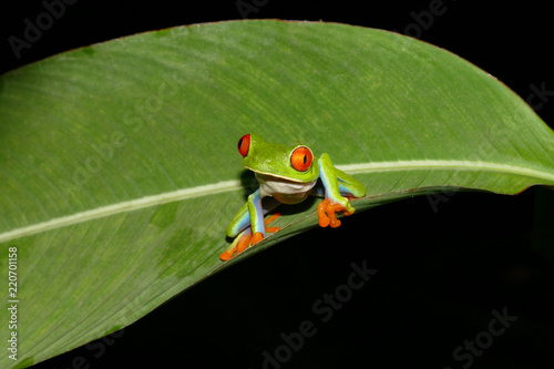 Plakat Red eyed tree frog w Kostaryce
