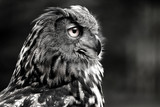 Black and white portrait owl