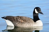 Portrait of a Canada goose (branta canadensis) in the water - 220707564
