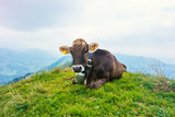 Brown Cows in German Alps Allgäu during Summer