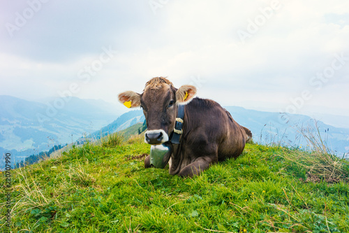 Brown Cows in German Alps Allgäu during Summer - 220707990