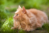 Curious orange cat outdoors - 220709979