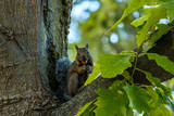 cute brown squirrel sitting on the tree branch with a nut in its mouth looking at you - 220715123