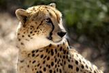 Leopard - 220719115