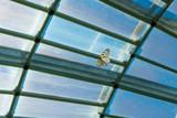 温室内を元気に飛び回るオオゴマダラチョウ - 220719950