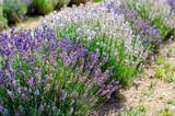 Field of different lavender varieties - 220727349