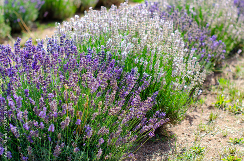 Field of different lavender varieties