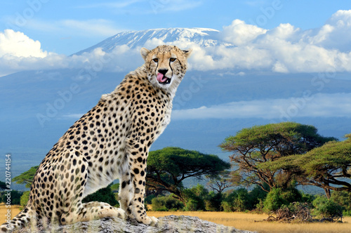 Fototapeta Wild african cheetah on Kilimanjaro mount background